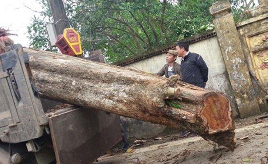 gỗ sưa đỏ, cây sưa 200 tuổi ở Bắc Ninh