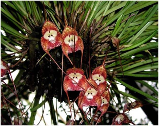 hoa lan mặt khỉ, hoa phong lan, lan mặt khỉ
