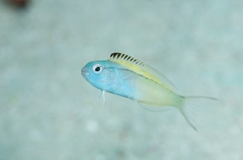 Cá fang blenny - Loài cá có nọc độc giống heroin khiến kẻ thù ngất ngư