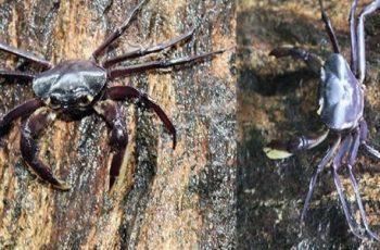 Cua Kani maranjandu - Loài cua kỳ lạ sống hoàn toàn trên cây ở Ấn Độ