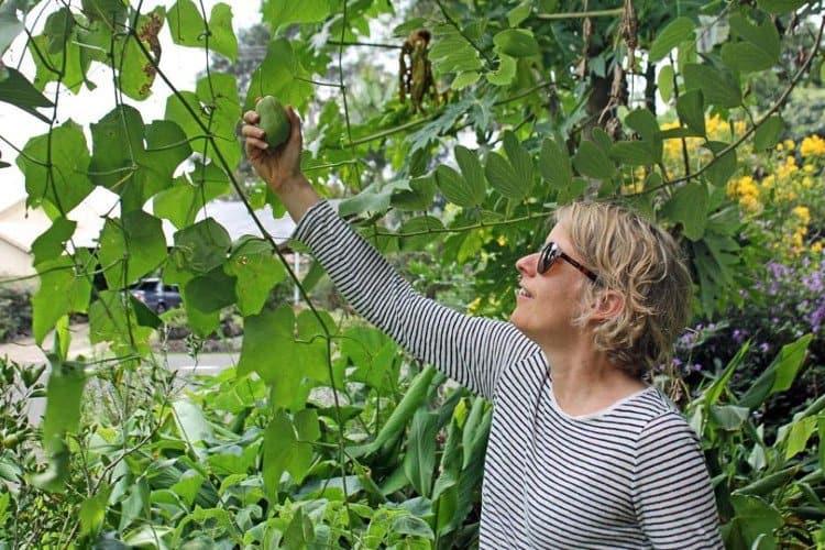 giàn mướp, quả susu, rau củ quả, rau sạch, trồng rau sạch, nông nghiệp hữu cơ