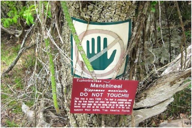 Machineel, loài cây độc nhất thế giới