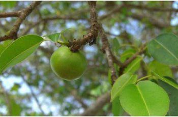 Manchineel - Loài cây độc nhất thế giới