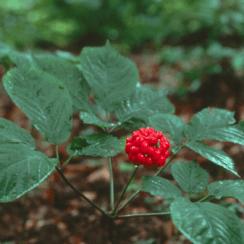 sâm Ngọc Linh
