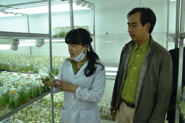 hoa lan rừng Hoàng Liên, nuôi cấy mô tế bào