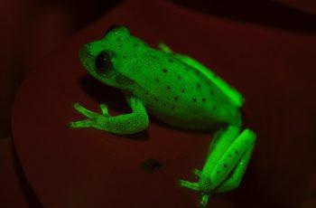 Loài ếch có khả năng phát sáng đầu tiên trên thế giới