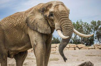 Tại sao loài voi không bị ung thư, protein p53, tế bào ung thư, ngăn ngừa ung thư