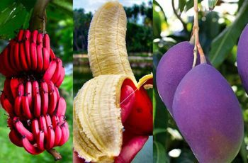 thực phẩm biến đổi gen, GMO, cây trồng biến đổi gen