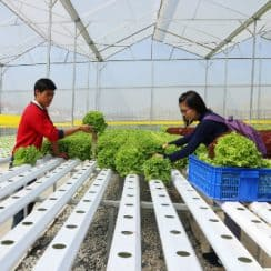 trồng rau thủy canh, vườn rau thủy canh, Đà Lạt, nông nghiệp công nghệ cao
