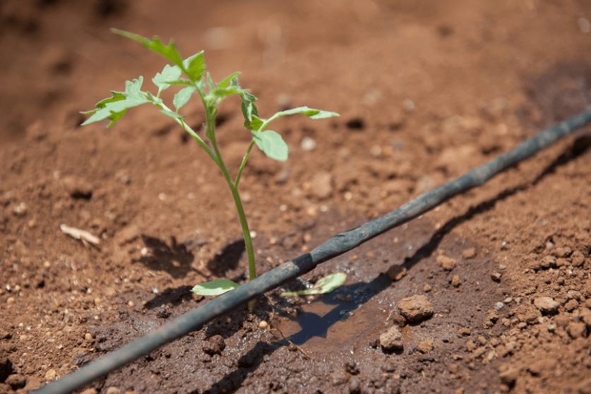 công nghệ tưới nước nhỏ giọt Israel, hệ thống tưới nước nhỏ giọt, drip irrigation