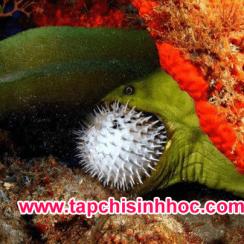 Lươn điện tấn công cá nóc có nọc độc gấp cả ngàn lần thạch tín