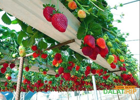 phát triển nông nghiệp công nghệ cao, Đà Lạt, Lâm Đồng, trang trại trồng rau sạch