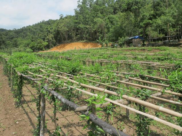 vườn cây dược liệu Kim Ngân Hoa tại Vườn quốc gia Yên Tử
