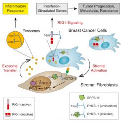 nguyên bào sợi, exosome, RN7SL1