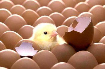quy trình đẻ trứng của gà