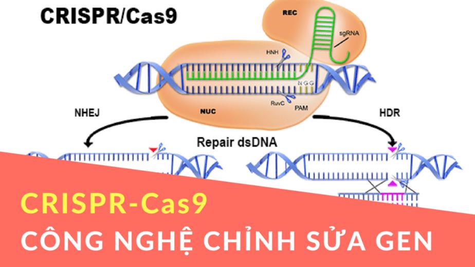 Công nghệ chỉnh sửa gen bằng CRISPR-Cas9 trong điều trị bệnh tim mạch, cơ chế crispr cas9, chinh sua gen, crispr cas9 là gì