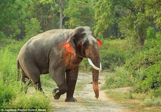voi tai đỏ, biến dị di truyền, chọn lọc tự nhiên, con voi, chú voi con ở bản đôn