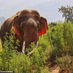 Voi tai đỏ cực hiếm xuất hiện tại Ấn Độ