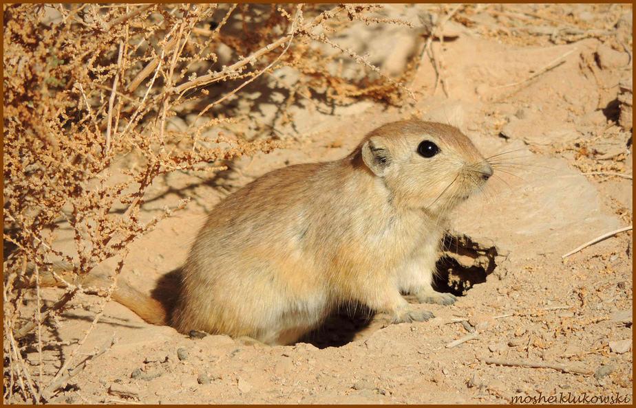 HIỂU BIẾT MỚI VỀ CƠ CHẾ TIẾN HÓA, chuột sa mạc, Psammomys obesus, đột biến, chọn lọc tự nhiên, biến dị, tiểu đường tuýp 2,