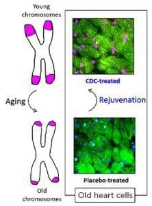 Nhiễm sắc thể, lão hóa, đầu mút nhiễm sắc thể, telomere, tế bào tim, tái tạo