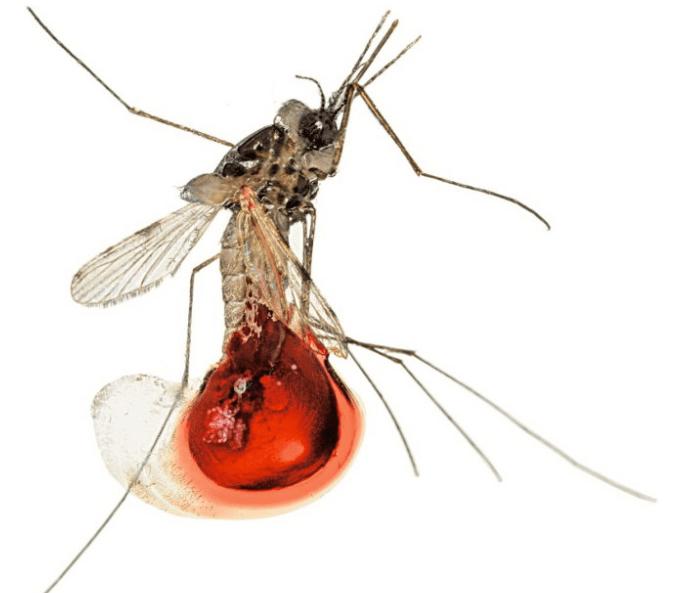 CRISPR, muỗi truyền bệnh, muỗi vô sinh,