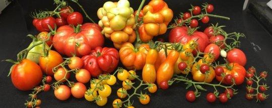 gen điều khiển kích thước của trái cà chua, Cell Size Regulator gene