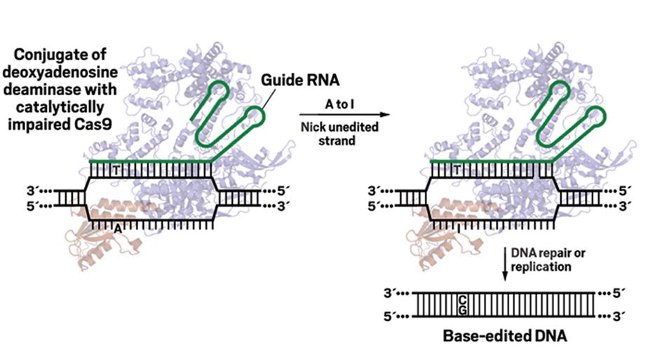 Chỉnh sửa đột biến điểm bằng CRISPR, Chỉnh sửa base DNA,Chỉnh sửa đơn nucleotide, chỉnh sửa base DNA bằng CRISPR, đột biến điểm, chỉnh sửa đột biến điểm bằng crispr, TadA, chỉnh sửa A-T thành G-C,  Hệ thống CRISPR-cas9, CRISPR-cas9 là gì, chỉnh sửa gen, chỉnh sửa gen người, CRISPR, Cas9, gRNA, miRNA, CRISPR-Cas9, công cụ chỉnh sửa ADN, Chỉnh sửa gen bằng CRISPR, công nghệ crispr,genome editing là gì,cơ chế crispr/cas9,clustered regularly interspaced short palindromic repeats là gì,theo tác trên ADN bộ gen,tác động lệch đích,Cracking CRISPR,