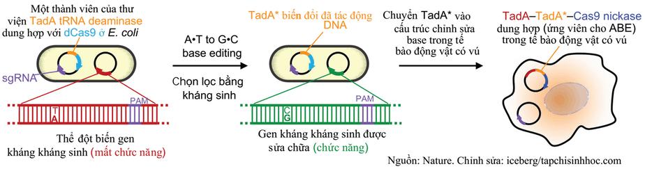 Chỉnh sửa base DNA,Chỉnh sửa đơn nucleotide, chỉnh sửa base DNA bằng CRISPR, đột biến điểm, chỉnh sửa đột biến điểm bằng crispr, TadA, chỉnh sửa A-T thành G-C,  Hệ thống CRISPR-cas9, CRISPR-cas9 là gì, chỉnh sửa gen, chỉnh sửa gen người, CRISPR, Cas9, gRNA, miRNA, CRISPR-Cas9, công cụ chỉnh sửa ADN, Chỉnh sửa gen bằng CRISPR, công nghệ crispr,genome editing là gì,cơ chế crispr/cas9,clustered regularly interspaced short palindromic repeats là gì,theo tác trên ADN bộ gen,tác động lệch đích,Cracking CRISPR,