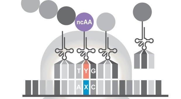 Sinh vật bán nhân tạo – mở rộng bảng chữ cái DNA, sinh vật bán nhân tạo, base tổng hợp, synthetic base pair