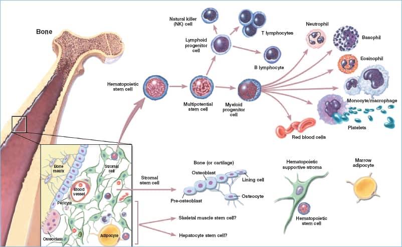 Phân loại tế bào gốc, tế bào gốc, tế bào gốc trưởng thành, tế bào gốc phôi, tế bào gốc nhũ nhi, tế bào gốc trưởng thành, tế bào gốc nhân tạo, tế bào gốc ung thư, biệt hóa, tế bào toàn năng, tế bào vạn năng, tế bào đa năng, tự làm mới, y học tái tạo,