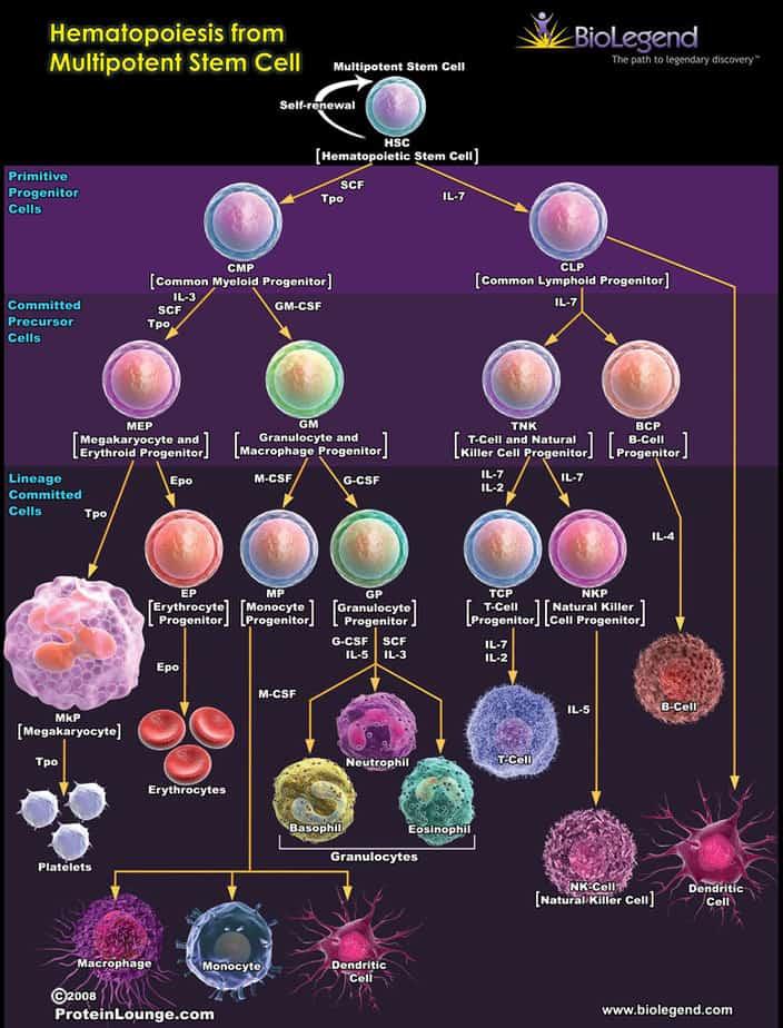 kết quả cho tế bào gốc, Những khái niệm ban đầu về tế bào gốc, dòng tế bào, biệt hóa, giải biệt hóa, tế bào gốc phôi, tế bào gốc nhũ nhi, tiềm năng, biệt hóa, tự làm mới, tế bào gốc tiền thân, liệu pháp tế bào gốc, tế bào gốc là gì, ứng dụng của tế bào gốc,