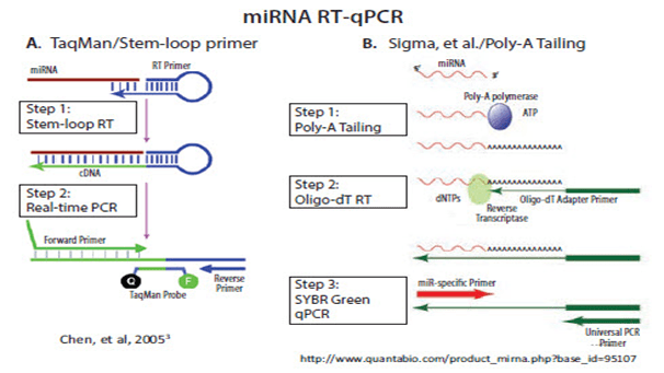 pcr và real-time pcr các vấn đề cơ bản và các áp dụng thường gặp, ứng dụng của real-time pcr, đọc kết quả real time pcr, so sánh pcr và real time pcr, pcr và real time pcr các vấn đề cơ bản, cách đọc kết quả real time pcr, pcr phiên mã ngược, xét nghiệm rt-pcr là gì, real time PCR là gì, PCR định lượng, SYBR green, Taqman probe, molecular beacon, đường chuẩn, RT-PCR,