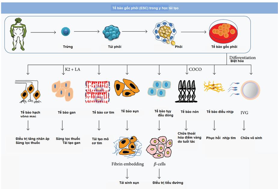 Ứng dụng công nghệ tế bào gốc, tế bào gốc, tế bào gốc là gì, tế bào gốc thẩm mỹ, thẩm mỹ bằng tế bào gốc, tế bào gốc phôi, tế bào gốc nhũ nhi, tế bào gốc trưởng thành, tế bào gốc cuống rốn, tế bào gốc vạn năng cảm ứng, liệu pháp tế bào gốc, thẩm mỹ bằng tế bào gốc,