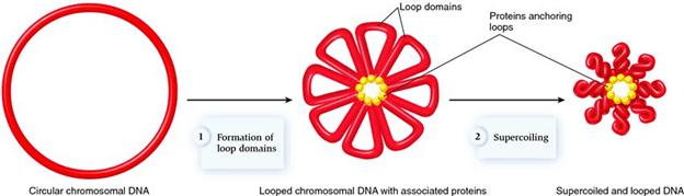 Đóng gói DNA trong tế bào nhân sơ, Đóng gói DNA trong tế bào vi khuẩn, vi khuẩn, tế bào nhân sơ, plasmid, vùng nhân, nhân sơ, nhân thực, nhân, nhiễm sắc thể, histone, DNA