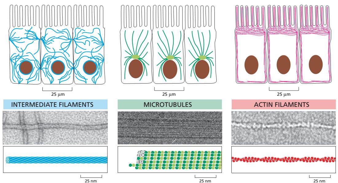 Khung xương tế bào, bộ xương, hệ xương, tế bào, khung xương tế bào gồm những gì, vi ống, vi sợi, sợi trung gian, thoi tơ vô sắc, thoi phân bào, phân chia nhiễm sắc thể, vai trò của vi ống trong phân chia tế bào